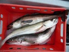 Todalsfjord Edition Seehecht Wellenblei 200g weiss